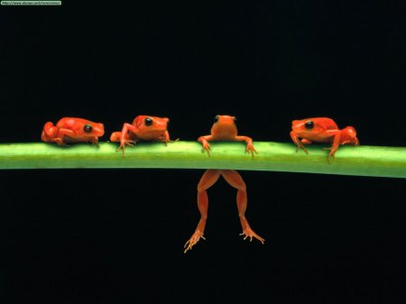 hang-in-there-red-tree-frogs